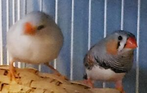Zebra finch breeding pair