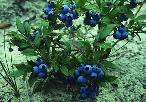 Velvetleaf Blueberry - Vaccinium Myrtilloides - 25 seeds  - Healthy Berries
