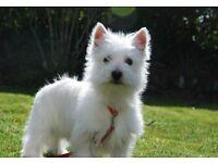 West Highland white Terrier (22 weeks old)