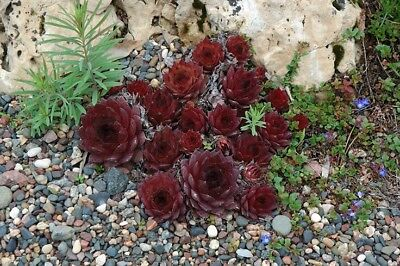 Sanford Sempervivum -  Hen And  Chick Hardy Plant succulent-   Zone 3 To 9 Ready ()