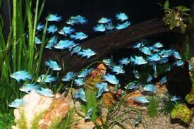 TROPICAL FISH, ELECTRIC BLUE RAM'S, TORPEDO BARBS, BLACK PHANTOM TETRA ETC