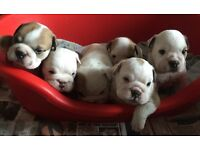Beautiful chunky bulldog puppies for sale!!