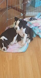 family raised CKC female boxer pup available for adoption
