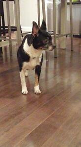 """Adult Female Dog - Chihuahua: """"Rosealee"""""""
