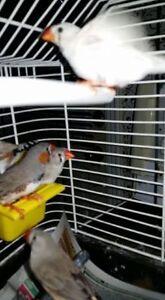 Oiseaux MANDARIN  et Cage