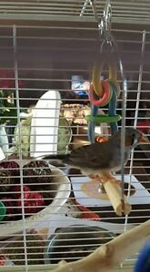 1 Male Baby Finch Available