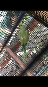 Beautiful green male ringneck! Price dropped! Only $70! Hillcrest Logan Area Preview