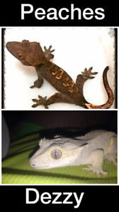 Crested gecko mating pair