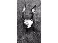 Beautiful Staffordshire Bull Terrier needs a loving home