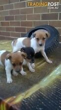 Jack Russell Pups, male and female, wormed Smithfield Parramatta Area Preview