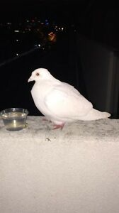 Lost white pigeon has been rescued at Lux Way, Brunswick Brunswick Moreland Area Preview