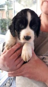 Puppies: English Springer Spaniels: Ready to go!