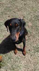 Doberman male desexed vac micro chipped 3.5 yrs Ambarvale Campbelltown Area Preview