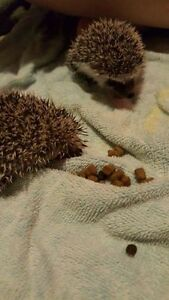 Baby Hedgehogs 3 left 2 females 1 male.