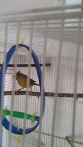 Spanish temparado canary (Crested)