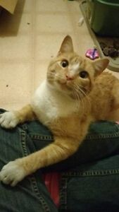 Orange and White Male Cat in Conmee Township