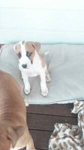 one female puppy left Cessnock Cessnock Area Preview