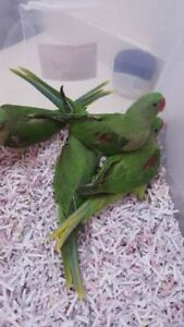 Hand raising adorable great talking ALEXANDRIAN PARROT BABIES
