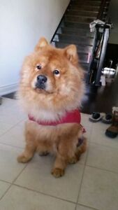*URGENT *Foster* Gorgeous  chow chow  up for adoption urgently