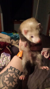 4 month old ferrets. 2 males 2 females.