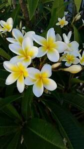 Frangipani Plants Manning South Perth Area Preview