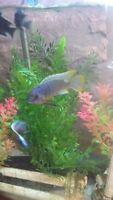 Male and female breeding pair of mbuna(Going to Big al's Monday)