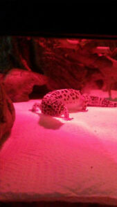 Leopard gecko complete with exo terra setup