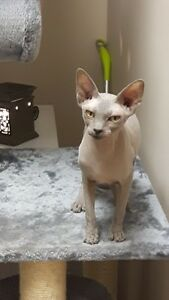 Lilac, Female, Adult, Sphynx - Fixed