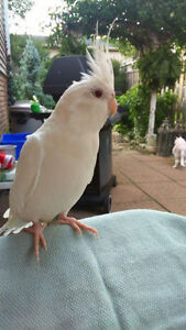 2 And A Half Year Old Female Albino Cockatiel For Sale