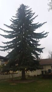 Black Out Tree Removal 226-700-1484 London Ontario image 2