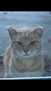 Friendly ginger cat found Plateau / Hull / Aylmer
