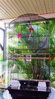 Indian Ringneck Parrot Young Blue Female complete with cage etc Raceview Ipswich City Preview