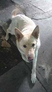 Female German Shepherd x Siberian Husky, 15 months old West Footscray Maribyrnong Area Preview