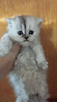 Chinchilla Persian Male Kitten TOY sized