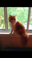 Orange and white Persian male looking for a female companion