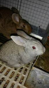 7 week old Flemesh Giant bunny's for sale,