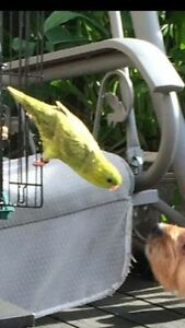 MALE LINEOLATED PARAKEET