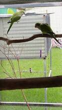 Quakers. Birds - Young DNA'd Male and Female.Western Sydney Orchard Hills Penrith Area Preview