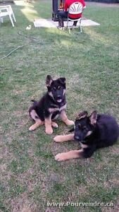 King Shepherd Puppies are back!! 1 female left!