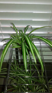 Spider Plant -- NASA Houseplant for Improving Indoor Air Quality