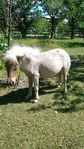 AMHA/AMHR 2 yrs old chesnut appaloosa filly