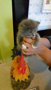 Mes petit chatons cherche famille * hymalayen mixt * negociable