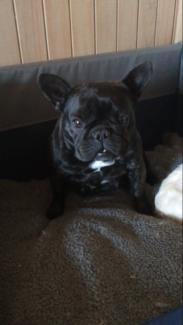 Adorable french bulldog female puppy