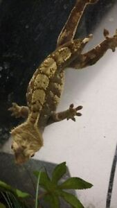 proven breeders for RE-HOMING  CRESTED GECKOS