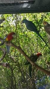 Birds for sale Hampton Park Casey Area Preview