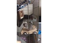2 Young Dumbo Rats and New Cage