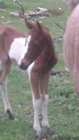 2015 baby foals horses for sale