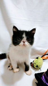 Cutest Black and White Exotic Shorthair Kitten