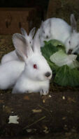 Meat Rabbits and Pet Bunnies 519 791 7805