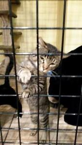 """Young Male Cat - Domestic Short Hair: """"Macjack"""" Downtown-West End Greater Vancouver Area image 3"""